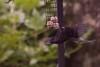 Blackbird hover feeding  11
