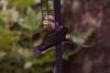 Blackbird hover feeding  10
