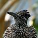 Greater Roadrunner (National Aviary)