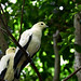 Pied Imperial-Pigeons (National Aviary)