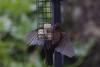 Blackbird hover feeding  2