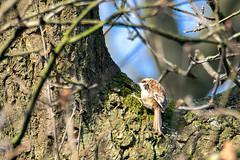 Photo of Treecreeper