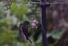 Blackbird hover feeding  5