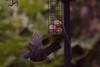 Blackbird hover feeding  9