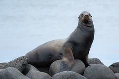 Sea Lion on North Seymour