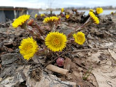 tussilago images