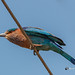 An Indian Roller Perched on a Wire