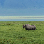 Il Rhino. La possenza fatta animale