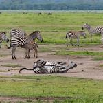 Una zebra che fa la pulizia dalle mosche rotolandosi per terra