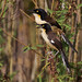 Black-capped Donacobius_Donacobius atricapilla_LLanos Colombia_Ascanio_DZ3A2444