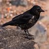 Carrion Crow by Esplanade, Kirkcaldy