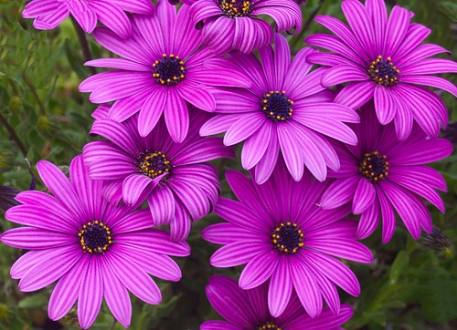 African daisies: finally, close to the correct color!