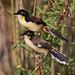 Black-capped Donacobius_Donicobius atricapilla_LLanos Colombia_Ascanio_DZ3A2425