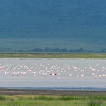 Il colore rosa di questi fenicotteri deriva dai microrganismi rossi presenti nelle acque di questi laghi in cui si nutrono
