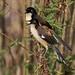 Black-capped Donacobius_Donacobius atricapilla_LLanos Colombia_Ascanio_DZ3A2457