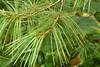 Pinus wallichiana laxa (1)