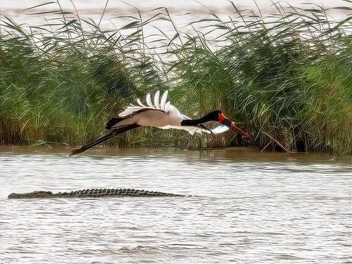 Saddlebill (Ephippiorhynchus senegalensis) and Croc!