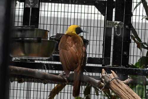 Raggiana Bird-of-Paradise (National Aviary)