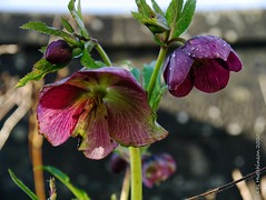 Photo of 2020 02 18 - 3 stages of hellebore