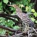 Rufescent Tiger-Heron_Tigrisoma lineatum_Llanos Colombia_Ascanio_DZ3A3545
