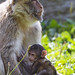 Mother macaque with baby