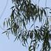Corymbia citriodora (Hook.) K.D.Hill & L.A.S.Johnson