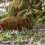 Young wild boar humbugs