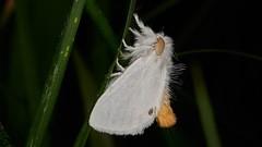 Photo of yellow-tail, Euproctis similis