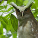 crested owl