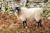 Swaledale Sheep - Newbiggin - Barnard Castle, England, UK