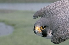 Anglų lietuvių žodynas. Žodis peregrine falcon reiškia sakalų lietuviškai.