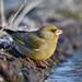 European Greenfinch 2020-02-15_01
