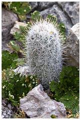Escobaria sneedii var. albicolumnaria