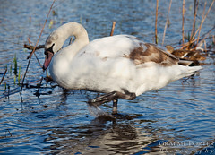 Photo of Mute Swan (Juvenile) - IMG_9818 - Edited