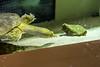 Some sort of turtle at EcoTarium