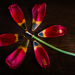 2020 Visions 2.18 ~ Tulip, Deconstructed