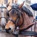 Nahaufnahme von zwei Pferden, die nach der Tradition einen Wagen bei Rosenmontagsumzug in Köln ziehen