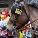 Close-up of a horse at the Rose Monday parade in Cologne. Around 300 horses take part in the parade according to the tradition, amidst deep concern expressed by animal rights activists