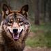 ein Wolf ...