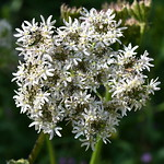 Berce commune - Heracleum sphondyliym L.