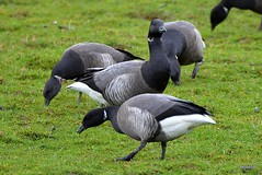Photo of Brent Geese [DB] - alongside Exe Estuary at Powderham 18-02-2020 15-26-58