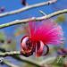 Bee & SHAVING BRUSH TREE Flower 13G03213
