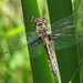 Common baskettail, female (Epitheca cynosura)