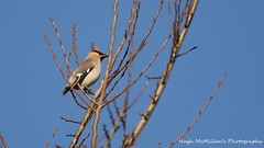 Photo of Waxwing