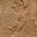 Tetrapod footprints (Sangre de Cristo Formation, Lower Permian; El Pueblo site, Upper Pecos Valley, New Mexico, USA) 3