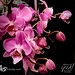 orchid - pink iP8