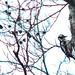 Male, Större Hackspett, Great spotted woodpecker, Dendrocopos major