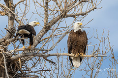 February 22, 2020 - Bald eagle pair hanging out at home. (Tony's Takes)