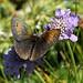Papillon moiré sur scabieuse