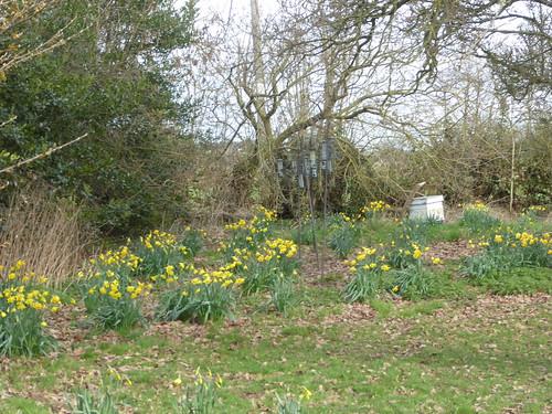 March - daffodils